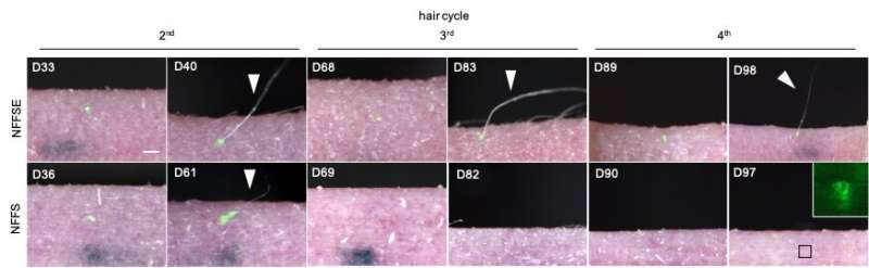 A recipe for regenerating bioengineered hair