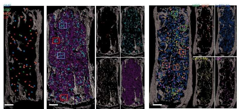 Bone marrow 'map' opens path to organoid-like blood stem cell production